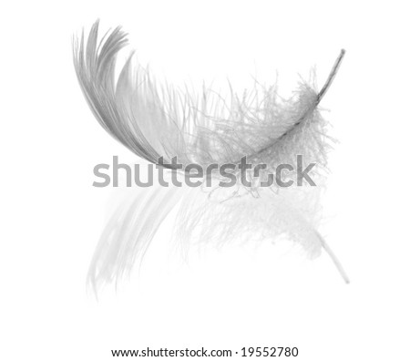 swan feather and its reflection isolated on black background - stock photo