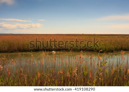 Swan floating in the nature reserve of the Isonzo river mouth  - stock photo