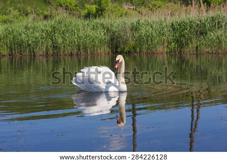 Swan floating in the river. - stock photo