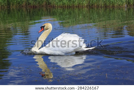 Swan floating in the river.