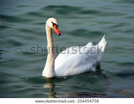 Swan floating on the water - stock photo