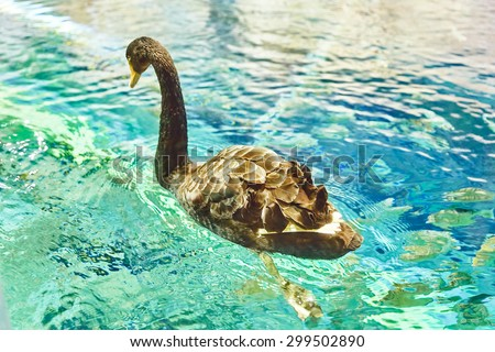 Swan floating on the water in their natural habitat wild. - stock photo