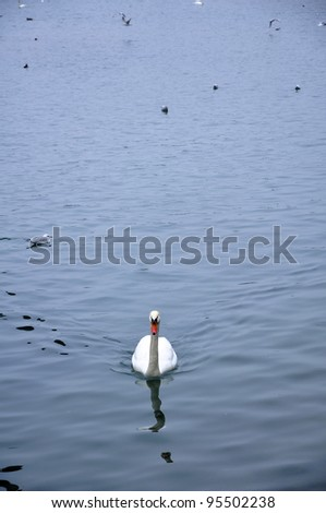 swan floating on the water with fowl of water bird