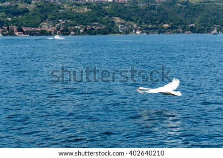 Swan flying over the water of Lake Maggiore
