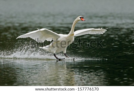 Swan in fight - stock photo