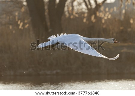 swan in flight back lit spring, flying bird - stock photo