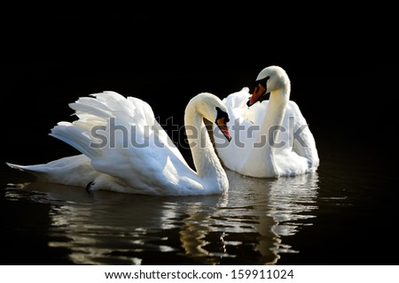Swan in lake on dark background - stock photo