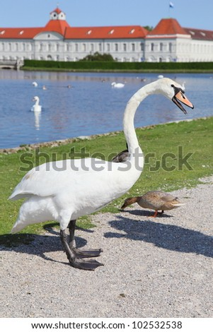 swan in the garden of Nymphenburg palace in Munich, Germany