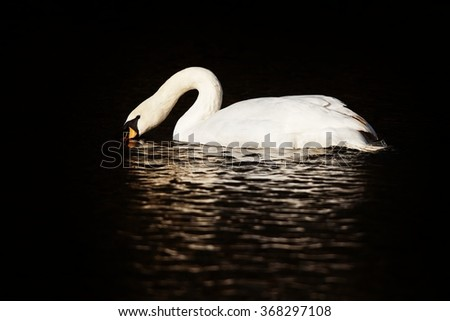 Swan in the lake, Slovakia