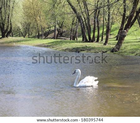 Swan in water - stock photo