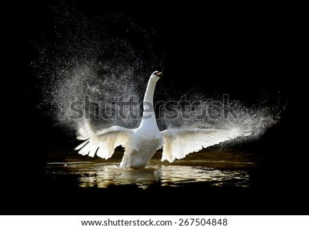 Swan in water and splashing water drops around - stock photo