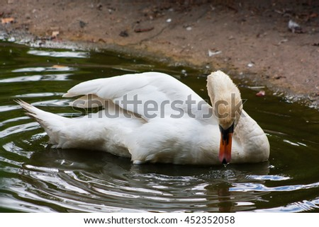Swan makes bathing ritual at lunchtime, a hot summer day.
