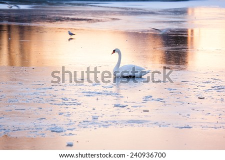 Swan on a frozen lake - stock photo