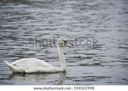 Swan on a River