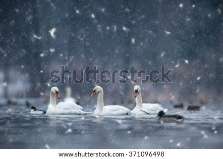 swan on blue lake in snowy day, swans on pond, nature series - stock photo