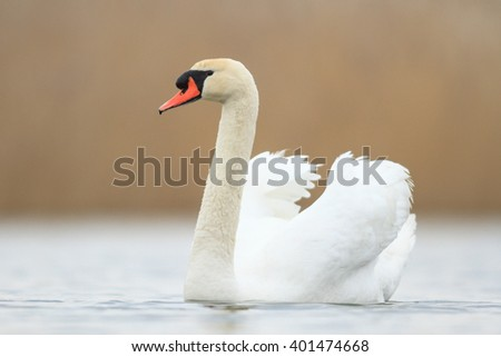 swan on blue lake in sunny day, swans on pond, nature series