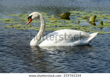 Swan on blue lake water in sunny day, swan on pond. - stock photo