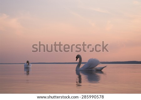 swan on lake water in sunny day, swans on pond, nature series, soft focus - stock photo