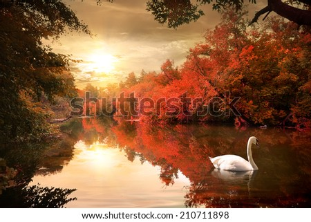 Swan on the autmn river at sunrise - stock photo