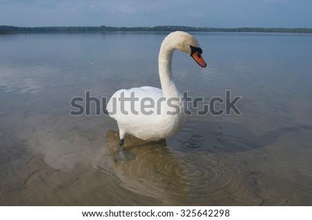 Swan on the lake (Pisochne ozero, Ukraine). - stock photo