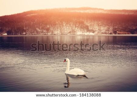 Swan on winter lake - stock photo