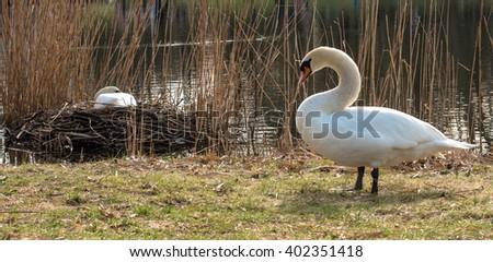 Swan pair breeds in nest in spring - stock photo