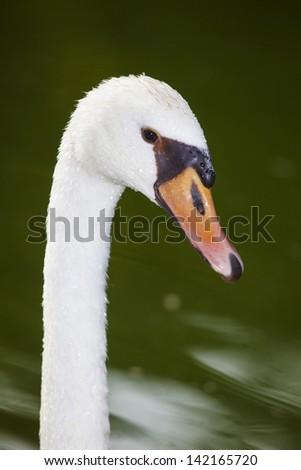 Swan portrait - stock photo