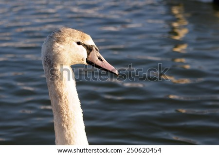 swan portrait on blue lake water in sunny day, swans on pond, nature series - stock photo