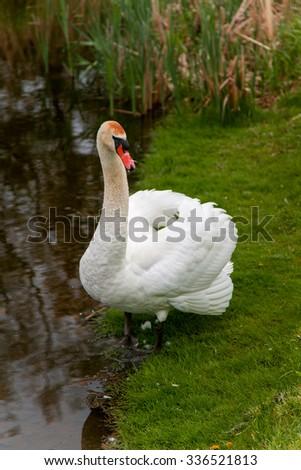 Swan redhead pics