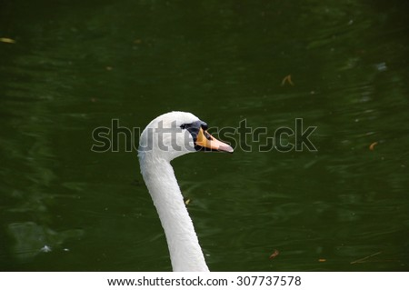 Swan relaxed swim through the artificial lake in the zoo Palic, Subotica, Serbia, 02.08.2015. - stock photo