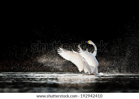 Swan rising from water and splashing silvery water drops around - stock photo