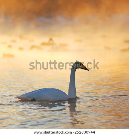 Swan silhoette, winter sunset in Siberia - stock photo