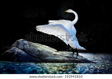 Swan standing with spread wings on a rock in blue-green water - stock photo