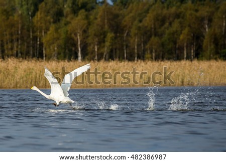 Swan start flying from water