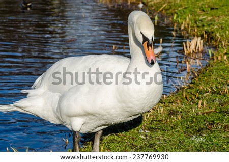 Swan stepping onto the shore of a lake - stock photo