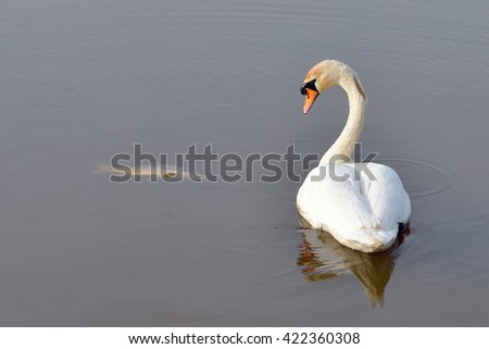 Swan swimming between dead fish in river.