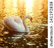 Swan swimming in the lake at sunset - stock photo