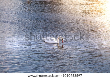 Swan swimming on a lake