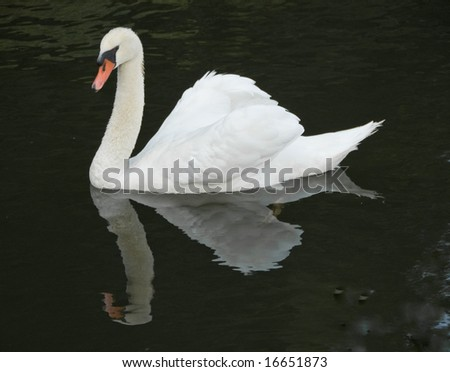 Swan swimming on lake with reflection in dark water