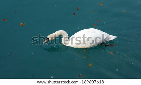 Swan swimming on the lake.