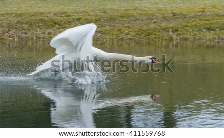Swan takes off in flight  - stock photo