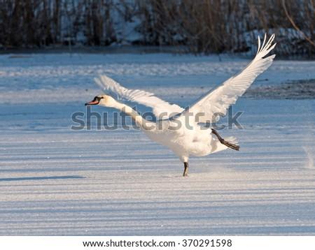 Swan takes off on a frozen lake - stock photo
