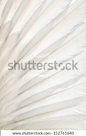 Swan-wing feather texture. Close-up. - stock photo