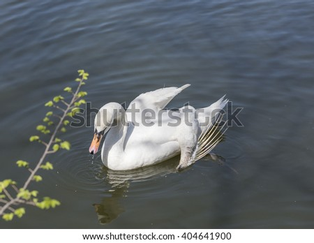 Swan with a broken wing - stock photo