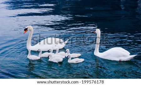 Swan with chicks. Mute swan family - stock photo