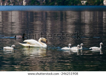 Swan with chicks. Swan and its babies. - stock photo