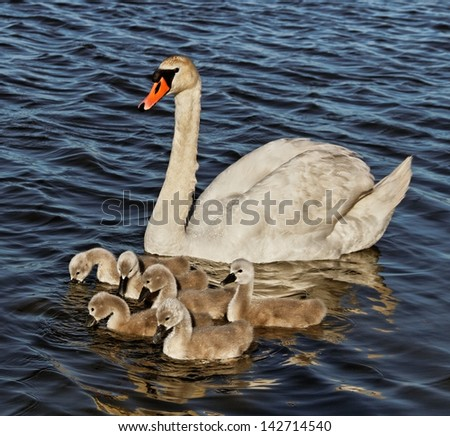 Swan with cygnets in Baltic sea water.