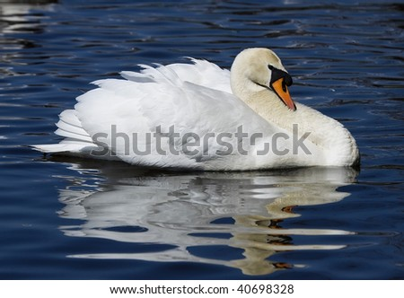 swan with reflection in the blue water - stock photo