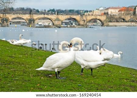 Swans against the Charles Bridge, Prague, Czech Republic - stock photo