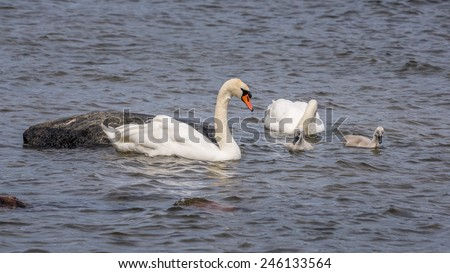 Swans and chicks - stock photo